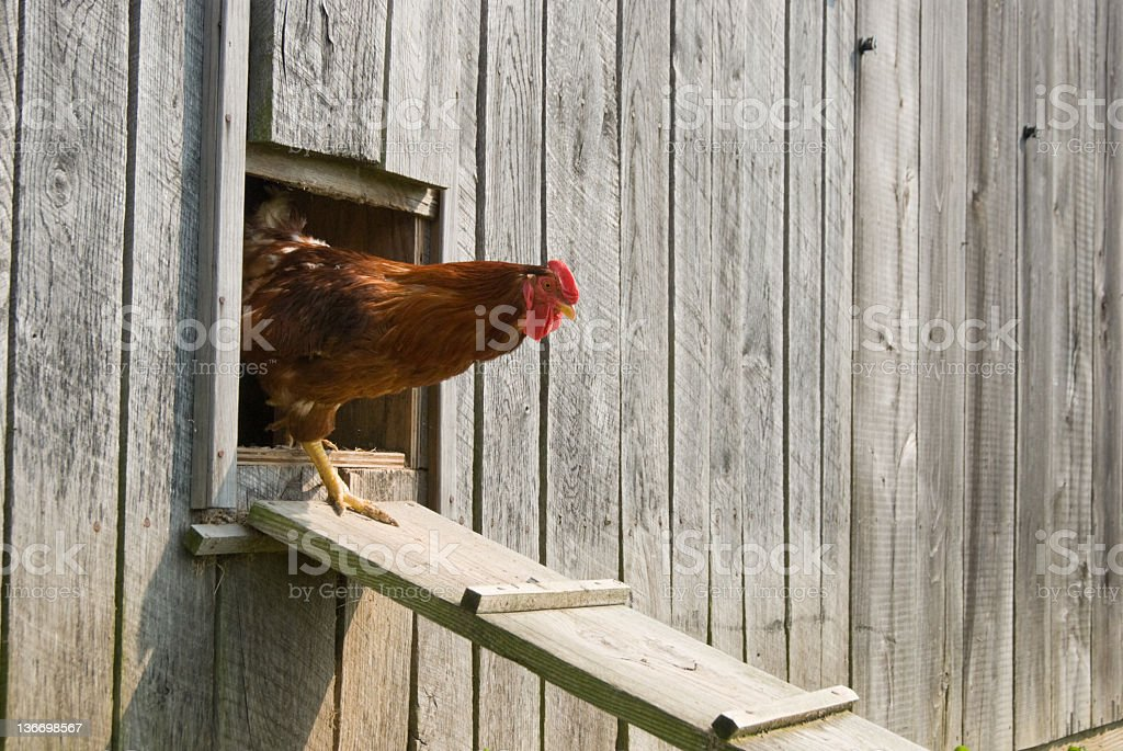 Rooster Walking From Chicken House stock photo