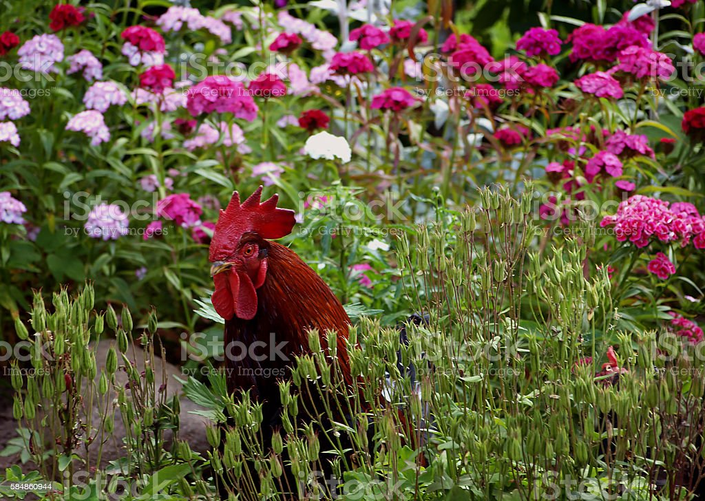 rooster walking in the flower garden stock photo