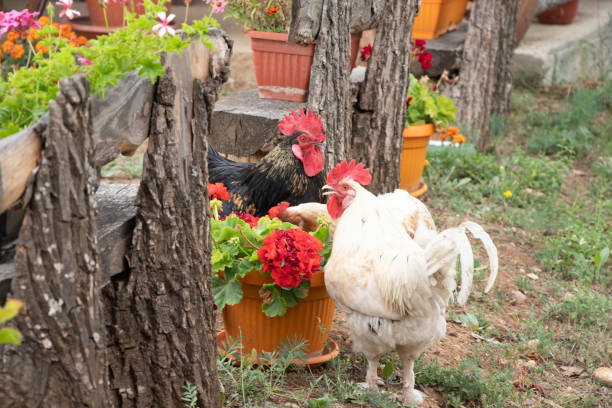 Roosters are playing in the yard stock photo