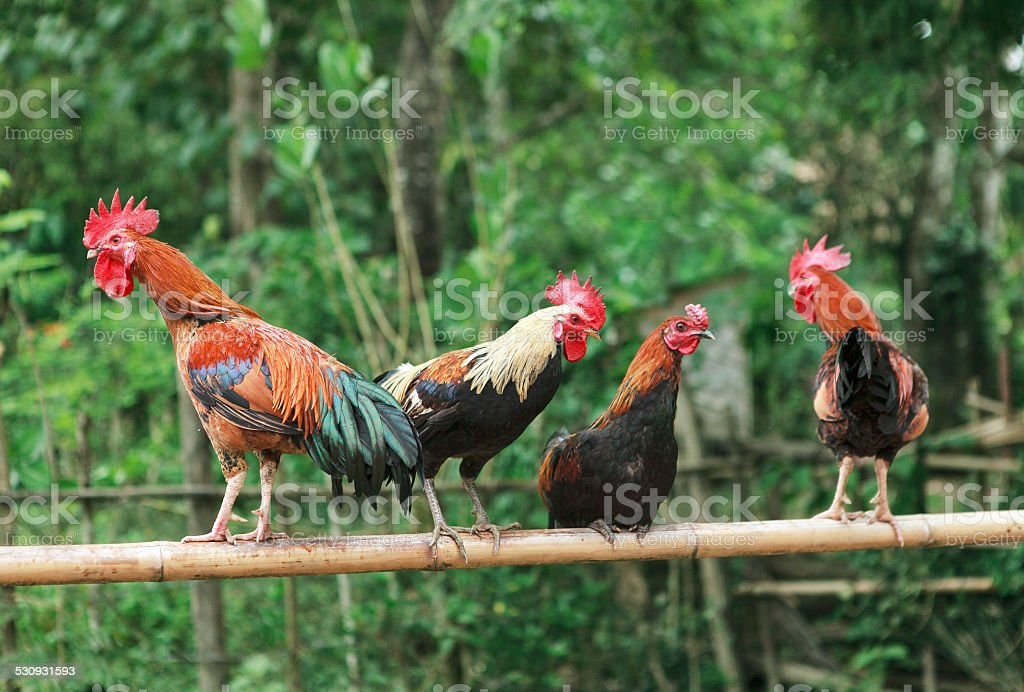 roosters on a branch of bamboo stock photo