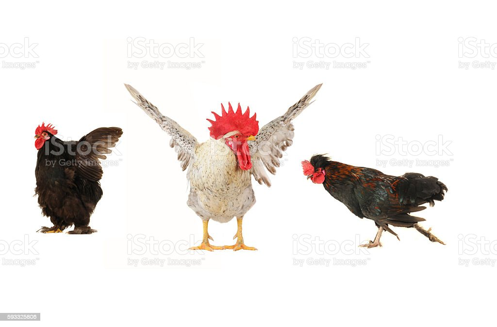 roosters stock photo