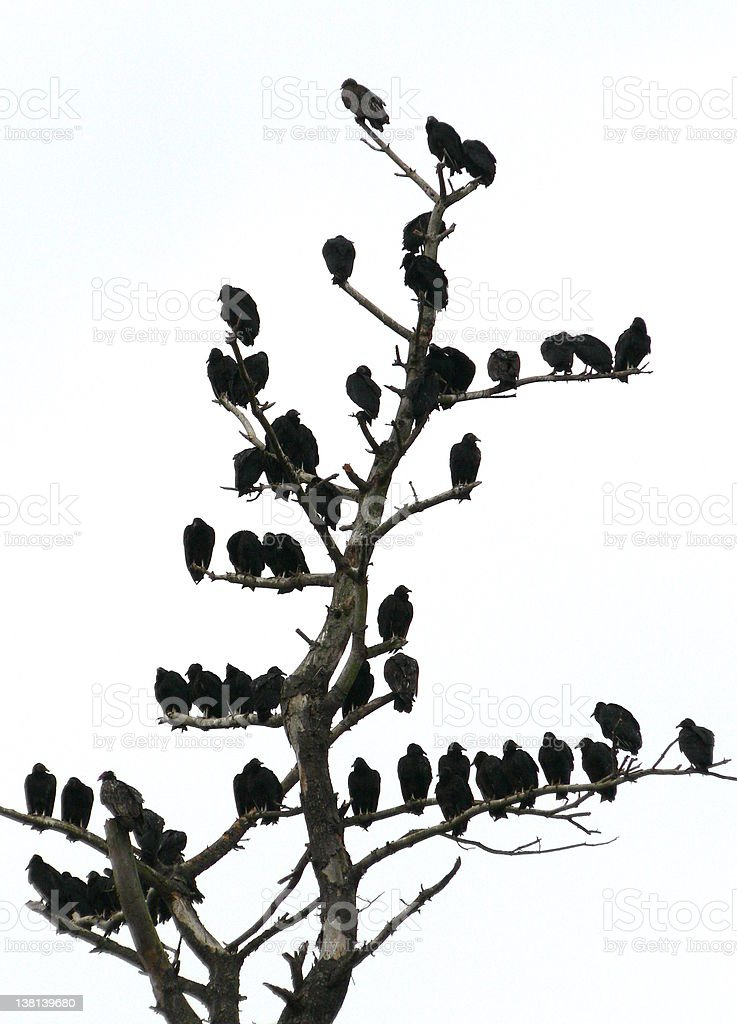 roosting vultures royalty-free stock photo