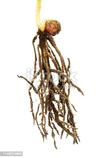 147512291 istock photo Root legume plant isolated on white. Stage of peas growing from seed to seedling. The root system of young peas on a white background. 1148024665