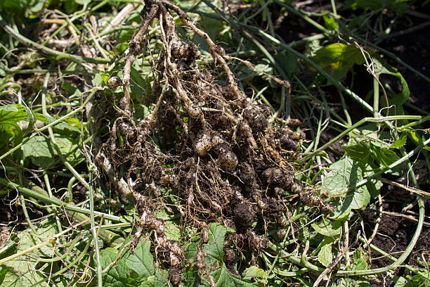 Root nodules invaded by Nematodes Root nodules invaded by Nematodes nematode worm stock pictures, royalty-free photos & images