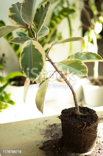 Root of ficus on the table before repotting