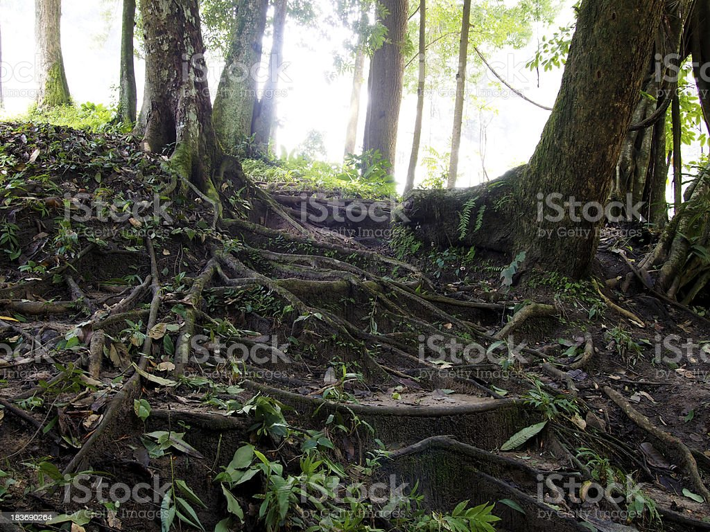 Root of Perennial plant royalty-free stock photo