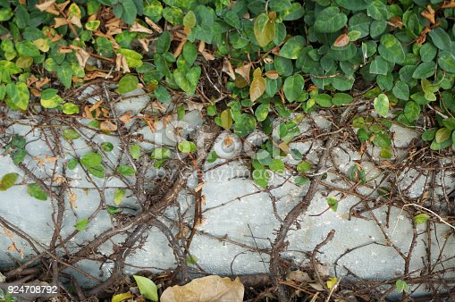 175407085istockphoto Root of plant on the wall 924708792