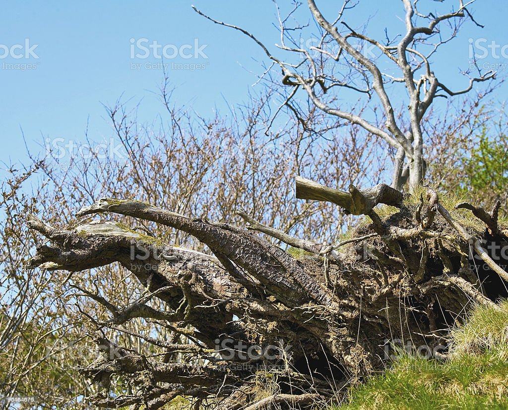 Root of the tree royalty-free stock photo
