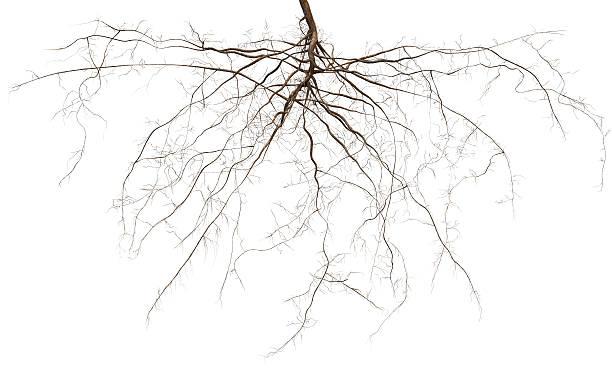 root - wortel plantdeel stockfoto's en -beelden