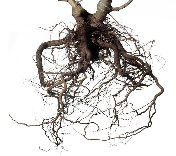root - root stock photos and pictures
