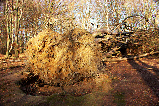 Root system of an overturned multi-stemmed beech in the Sababurg primeval forest