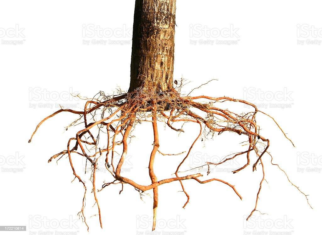 Root System royalty-free stock photo
