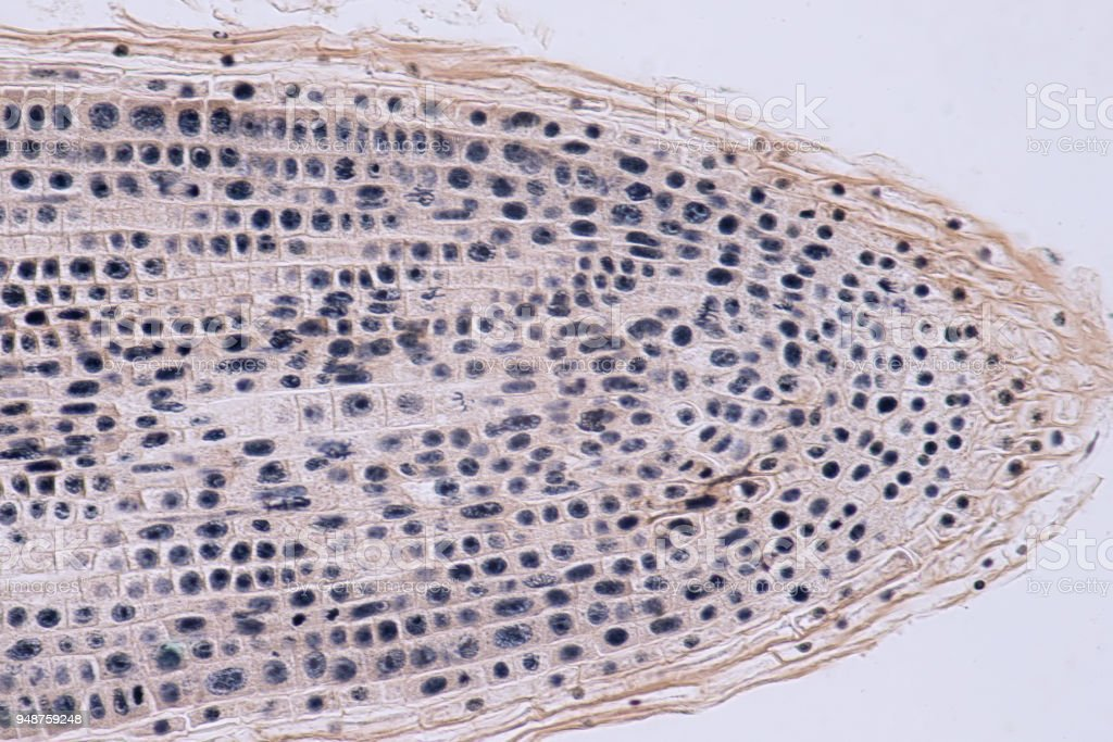 Root tip of Onion and Mitosis cell in the Root tip for education stock photo