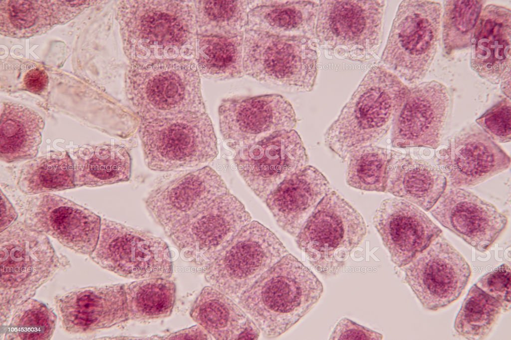 Root tip of Onion and Mitosis cell in the Root tip of Onion under a microscope. stock photo