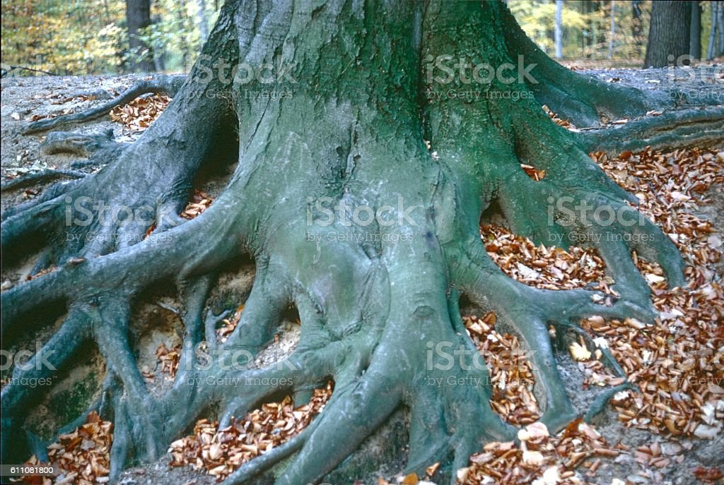 Lower Saxony, Germany, 1988. Firmly rooted beech tree in a forest.