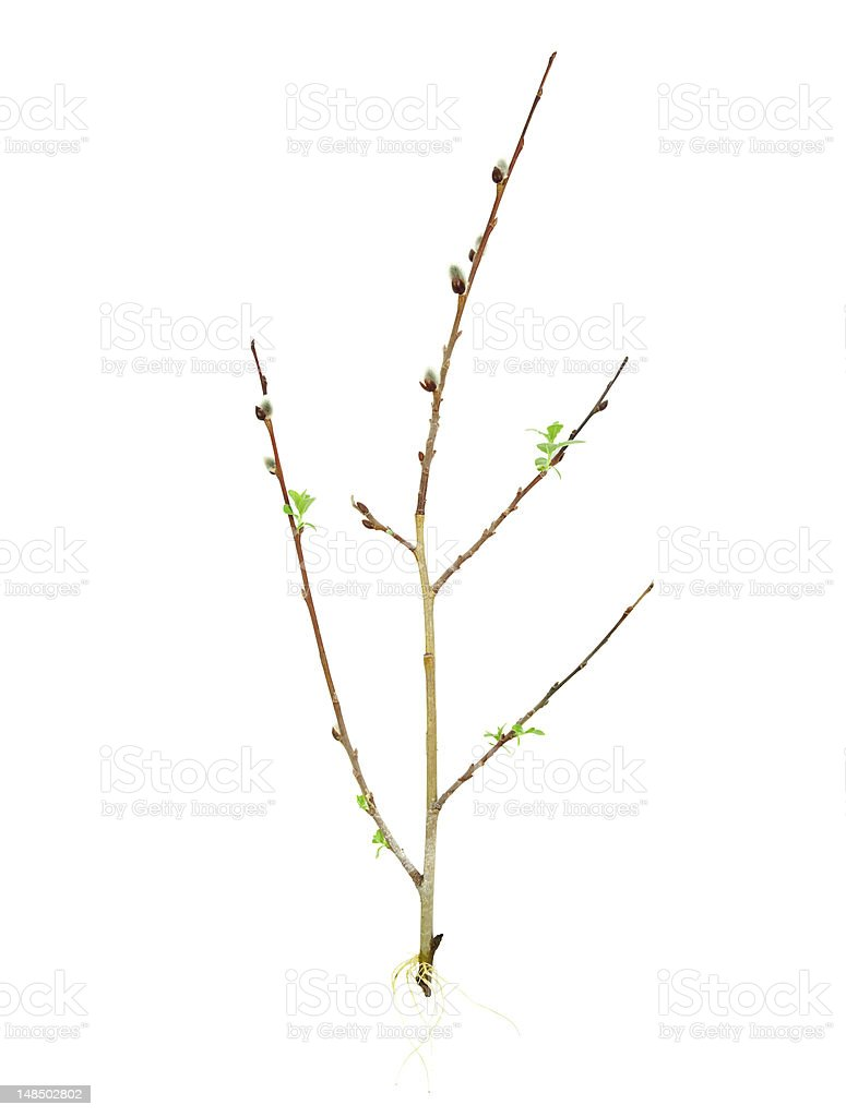 Rooting tree cutting stock photo