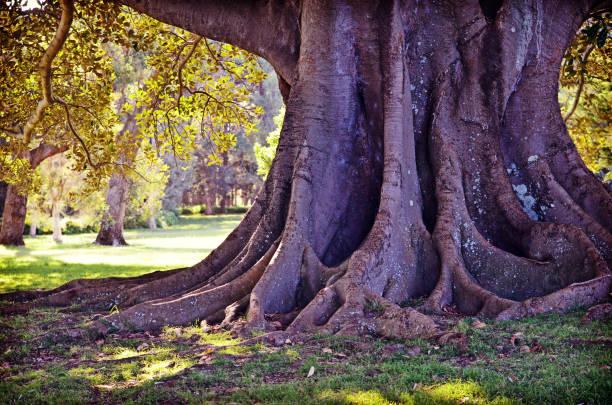 roots and trunk of a giant fig tree - durabilidade imagens e fotografias de stock