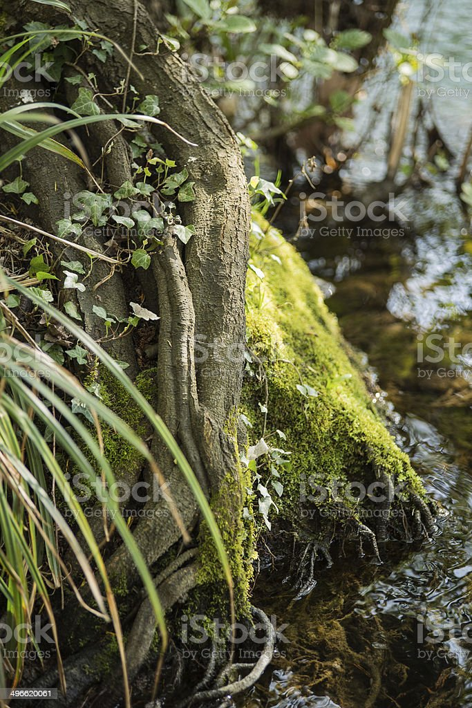 roots and water royalty-free stock photo