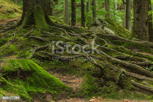 Photographed on a sunny day in the spring in the Ukrainian Carpathians. Beautiful intertwining roots of trees covered with moss and greens in the forest between the rocks