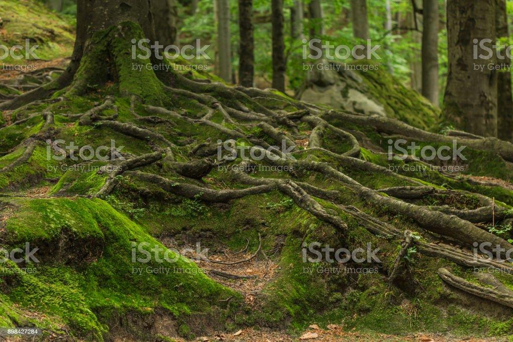 Racines, couverts de mousse dans la forêt - Photo