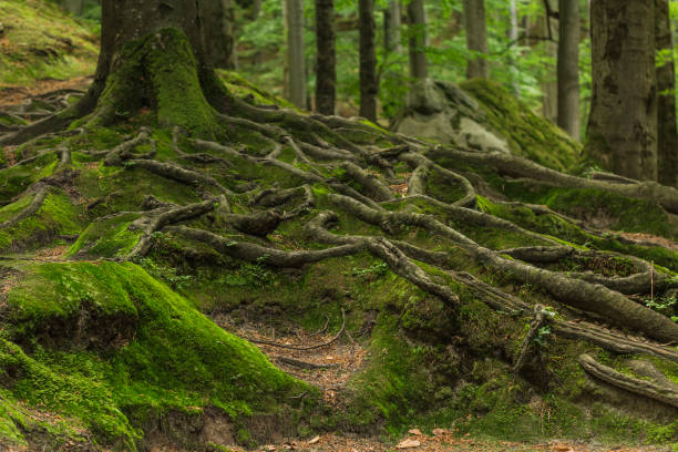 Roots covered with moss in the forest stock photo