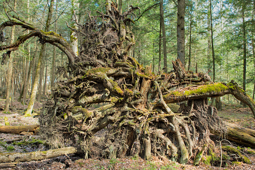 Roots Exposed from Fallen Tree
