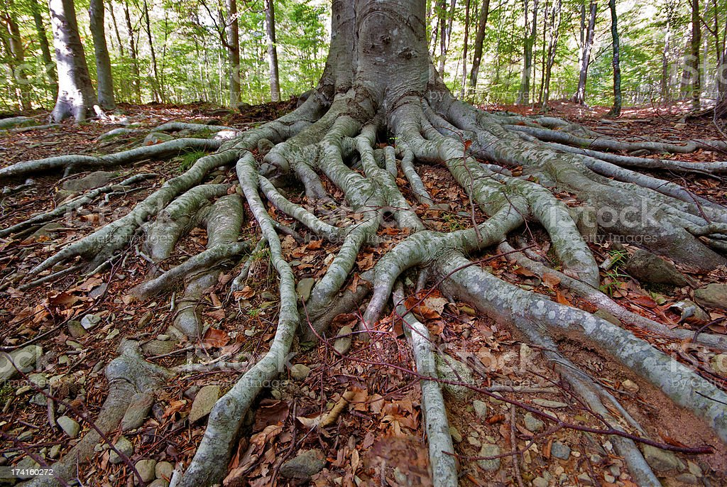 roots in a beech forest stock photo