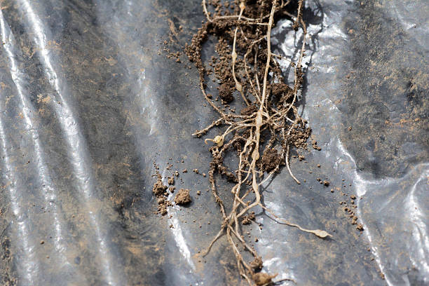 Roots invaded by Plasmodiophora Young roots invaded by Plasmodiophora on farm nematoda in root stock pictures, royalty-free photos & images
