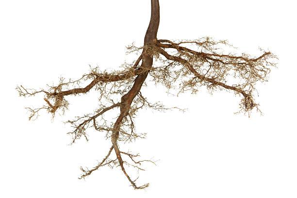 Roots isolated picture id157508393?b=1&k=6&m=157508393&s=612x612&w=0&h=kfup1gpk uz6mtz96g hs5lodusplg8mnihc79wwjkk=