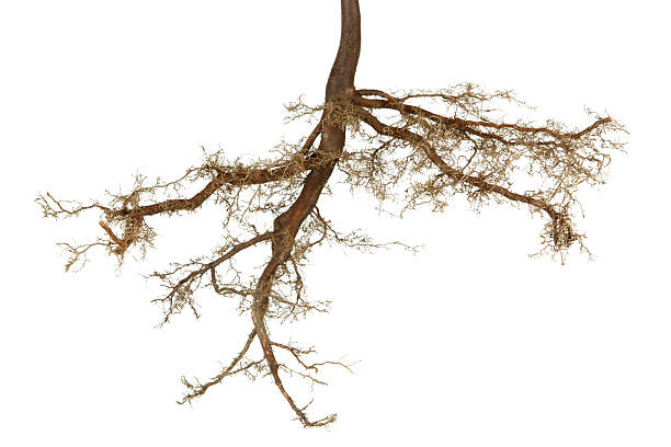 roots isolated - tree roots stock pictures, royalty-free photos & images