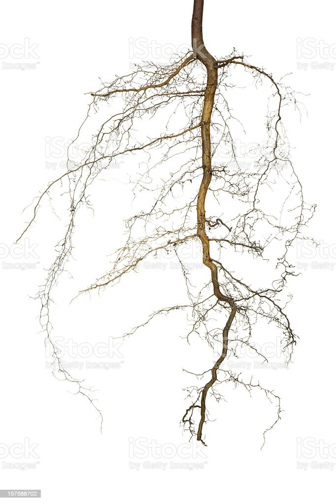 Roots Isolated royalty-free stock photo