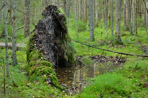 roots of a fallen tree in the deep woods
