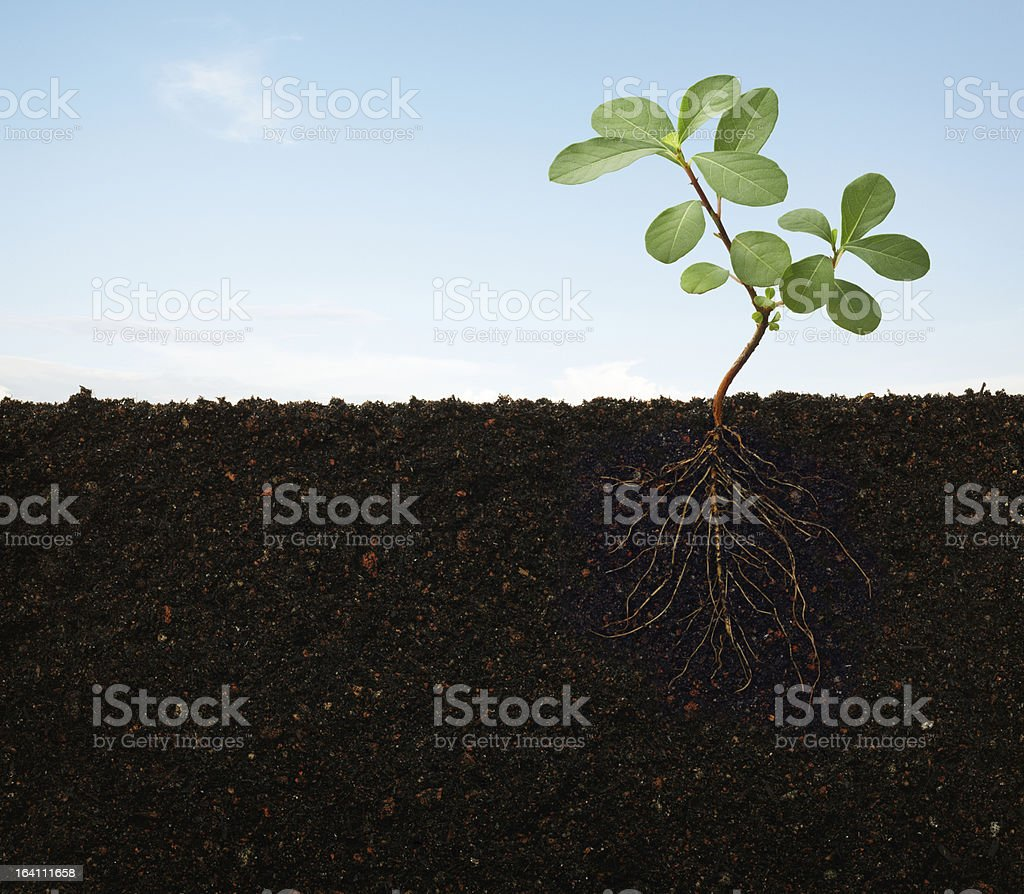 Roots of a plant growing in the soil royalty-free stock photo