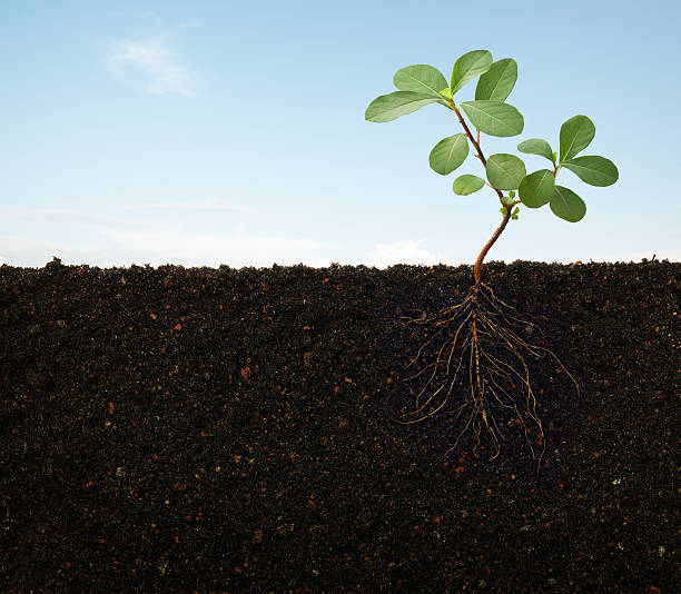 Roots of a plant growing in the soil stock photo