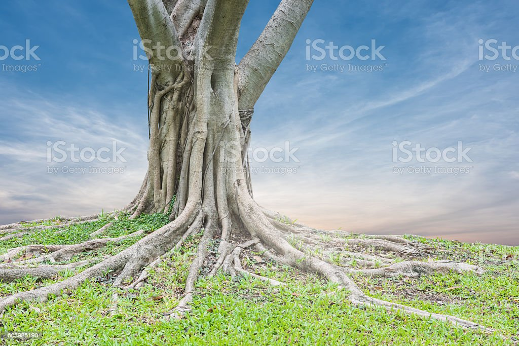 Roots of a tree and green grass stock photo