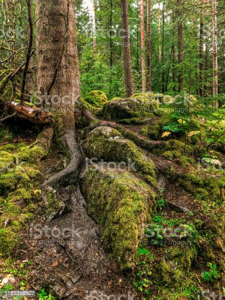 Roots of a tree picture id1183398807?b=1&k=6&m=1183398807&s=612x612&h=z2qqqwgekfgsyhl5f5ie4moz4wh d5anav ybghwgaw=