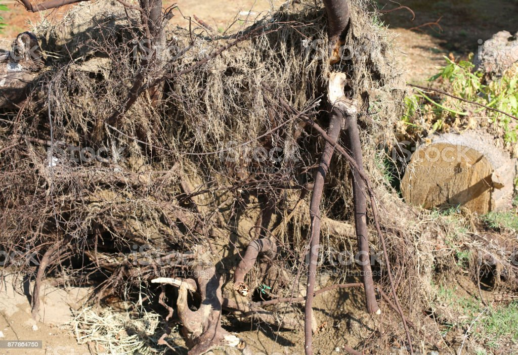 roots of a wind-rooted tree after the hurricane stock photo
