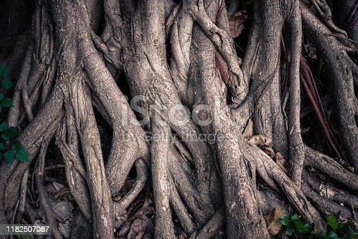 istock Roots of Banyan Tree 1182507087