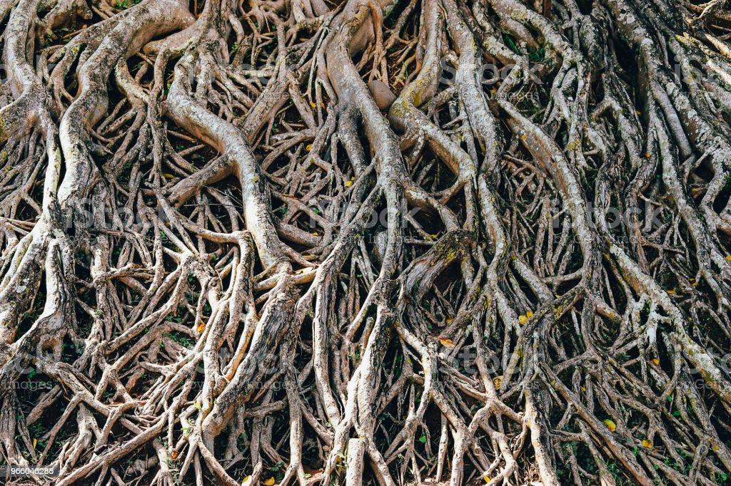 wortels van grote boom - Royalty-free Achtergrond - Thema Stockfoto