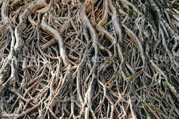 Корни Большого Дерева — стоковые фотографии и другие картинки Без людей