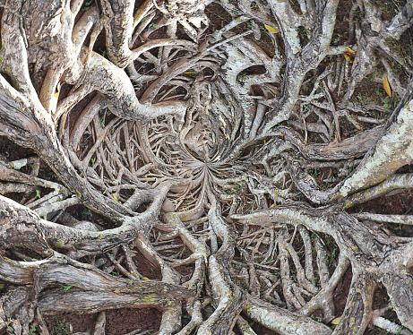 Roots Of Big Tree Stock Photo - Download Image Now