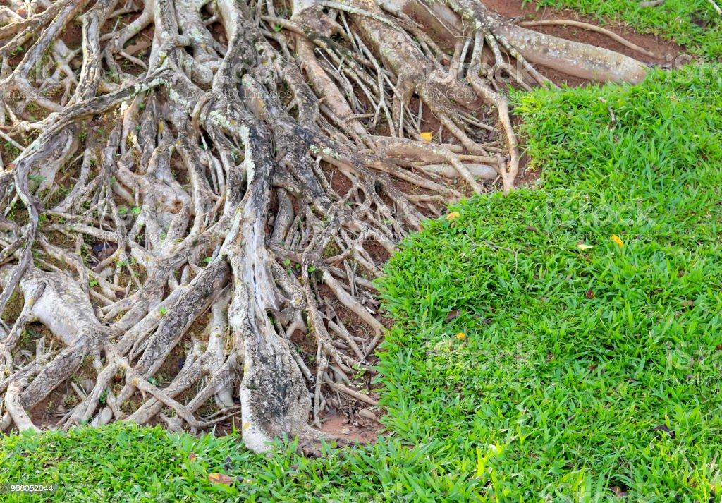 rötterna av stora träd - Royaltyfri Brun - Beskrivande färg Bildbanksbilder