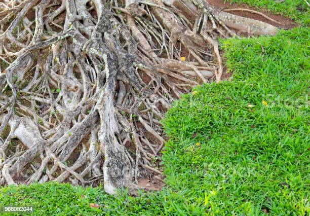 Rötterna Av Stora Träd-foton och fler bilder på Brun - Beskrivande färg