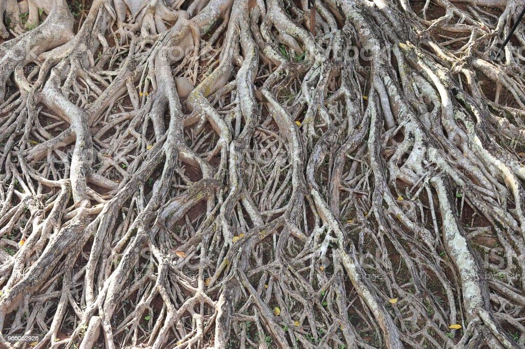 rötterna av stora träd - Royaltyfri Bildbakgrund Bildbanksbilder