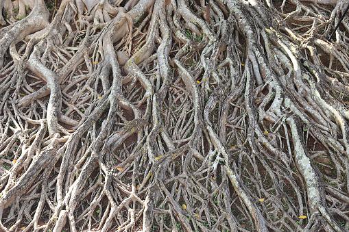 Rötterna Av Stora Träd-foton och fler bilder på Bildbakgrund