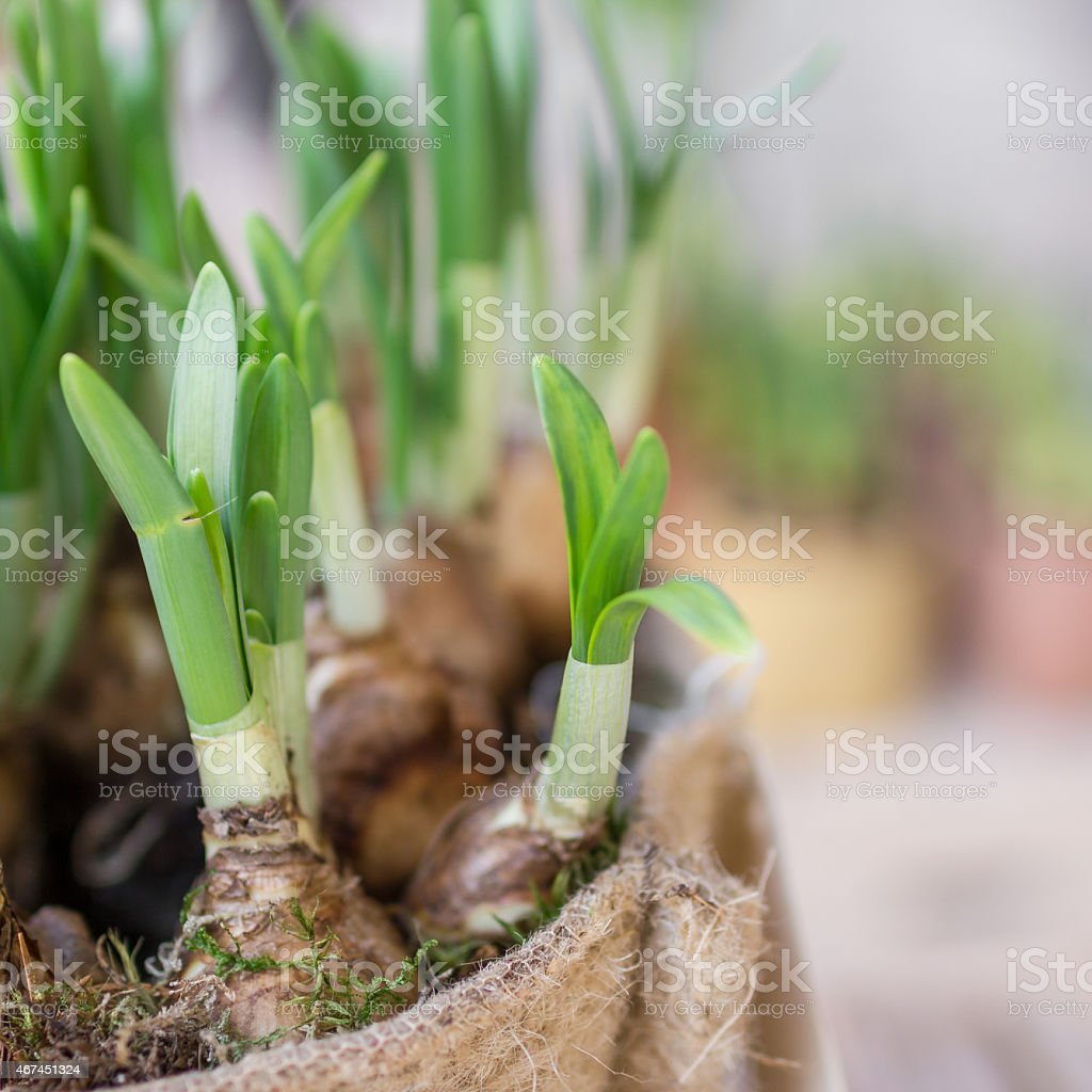 Roots of daffodils stock photo