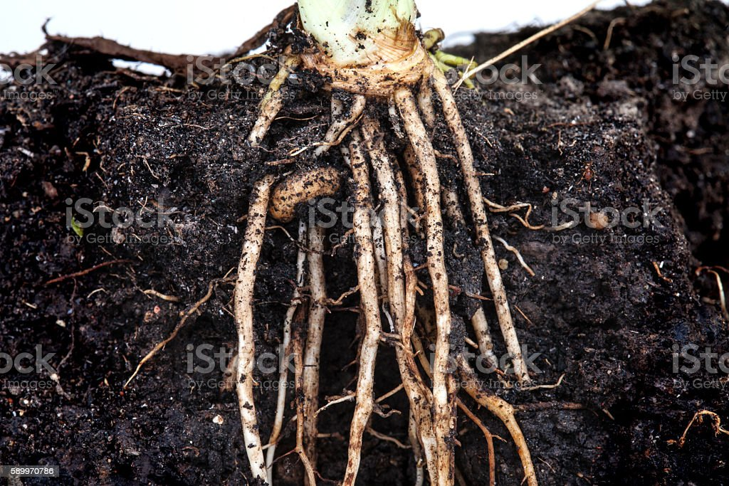 roots of parsley under the soil stock photo