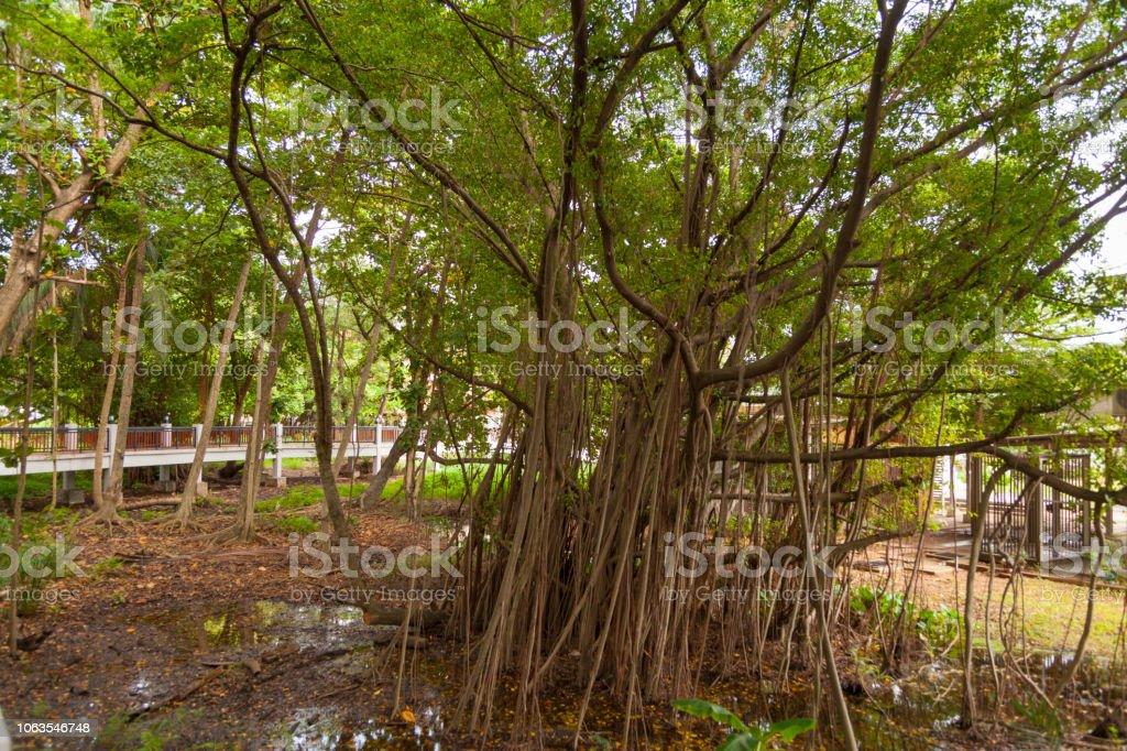 Raízes do Ficus benjamina - foto de acervo