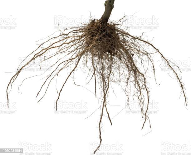 Roots Of Tree Or Plant Isolated On White Background Stock Photo - Download Image Now