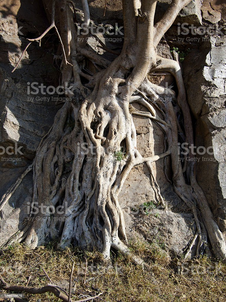 Roots of  tree wrapped around a stone royalty-free stock photo